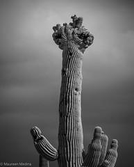 B&W Crested Saguaro in Thunderstorm (Maureen Medina) Tags: maureenmedina artizenimages arizona az saguaro cactus crested bw