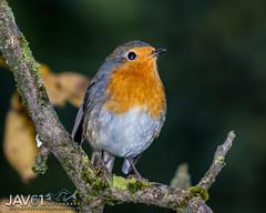 European robin (Erithacus rubecula)-1975 (George Vittman) Tags: bird passerine nikonpassion wildlifephotography jav61photography jav61 fantasticnature ngc