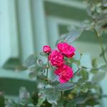 Baby Roses thumbnail
