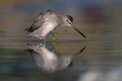 Clarke_181009_8271.jpg (www.raincoastphoto.com) Tags: shortbilleddowitcher birds limnodromusgriseus birdsofbritishcolumbia birdsofcanada birdsofnorthamerica sandpipersandshorebirds