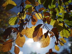 Sun Shining through Autumn Leaves (Mel_is_Moving) Tags: bradford epl6 olympus pen sky trees outside outdoor uk leaves autumn westyorkshire