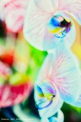 DSC_4838L (Pascal Rey Photographies) Tags: orchidées orchid orchidée flower fleurs flores flowerpower flowers flor floraison fiore blumen pop surrealiste pascalrey nikon d700 luminar2018 pascalreyphotographies photographiecontemporaine photos photographie photography photograffik photographienumérique photographierurale photographievégétale skylum pastel