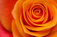 The labyrinth (Shumilinus) Tags: 1855mmf3556 2015 flowers nikond300s stilllife rose