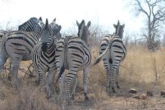 Zebra (Rckr88) Tags: krugernationalpark southafrica kruger national park south africa zebra zebras animals animal outdoors wildlife nature outdoor