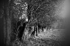 Willow (mariuszpawel) Tags: blackandwhite landscape atmosphere creative trees nature mazury nikon nikkor35mm europe westeurope hill woods noir monochromatic monochrome willow wierzby czarnobiałe
