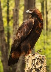 Zlaty (NYRBlue94) Tags: north carolina charlotte raptor center carolinaraptorcenter eagle golden northcarolina