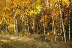 IMGP0523 (grun.berger) Tags: jesien jesiennafotografia jesiennebarwy jesiennyklimat daryjesieni wood forest tree nature landscape fall season birch outdoors park jesień autumn zielonagóra zgora zielonagora sun scene scenic