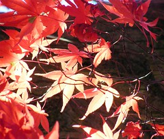 Sunny Red Maple Leaves (Stanley Zimny (Thank You for 33 Million views)) Tags: sunny red maple leaves autumn fall 4 four seasons acer