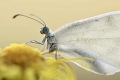 IMG_4035 Piéride de la moutarde (mp mapa) Tags: papillon lépidoptère piéride insecte nature animal prairie yvelines