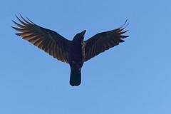 Corneille A7309080_DxO (jackez2010) Tags: ilce7m3 fe100400mmf4556gmoss bif birdinflight corneille