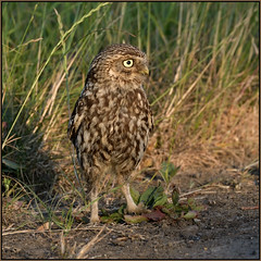 Little Owl (image 2 of 3) (Full Moon Images) Tags: wildlife nature cambridgeshire fens bird birdofprey little owl