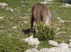 Bouquetin des Alpes (jonathan ∆) Tags: france rhônealpes drôme die parcnaturelrégionalduvercors photographieanimalière mammifère ongulésauvage bouquetin bouquetindesalpes capraibex canon7d sigma150600mncontemporary numérique broutinjonathan