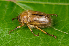 Rhizotrogus solstitialis (NakaRB) Tags: 2017 insecta coleoptera scarabaeidae rhizotrogussolstitialis