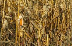 Maize ear in a year of drought (barbmz) Tags: maize corn mais maiskolben ear dürre drought field harvest feld ernte
