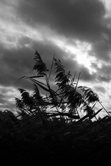 Blowin' in the Wind (Helmuth of Boskone) Tags: brandonmarsh october autumn naturereserve coventry england unitedkingdom gb reeds clouds sky blackandwhite monochrome