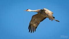 Sandhill Crane (Antigone canadensis) (Don Dunning) Tags: animals antigonecanadensis birds california canon7dmarkii canonef100400mmisiiusm crane flight isenbergcranereserve lodi sandhillcrane unitedstates woodbridgeecologicalreserve