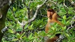 I'm a shy guy (annikru) Tags: proboscis monkey borneo bako nationalpark malaysia jungle