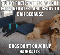 BUDDY PRETENDED TO NAP (Chikkenburger) Tags: icanhas animals lol loldogs cute puppies funny dogs sweet cheezburger chikkenburger