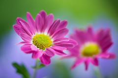 chrysanthemum 9331 (junjiaoyama) Tags: japan flower plant chrysanthemum mum pink summer macro bokeh