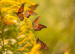 Monarch Migration (Bernie Kasper (4 million views)) Tags: art butterfly berniekasper butterflies bug bugs d600 family flower floral flowers fall goldenrod hiking indiana indianawildflowers insect insects indianabutterflies madisonindiana macro monarchbutterfly bigoaksnwr nature nikon naturephotography new outdoors outdoor old outside photography plant wildflower wildflowers wings gold yellow travel summer sigma sunset raw