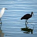 Snowy Egret and White-faced Ibis