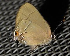 Calycopis (Birdernaturalist) Tags: bolivia butterfly hairstreak lepidoptera lycaenidae richhoyer theclinae