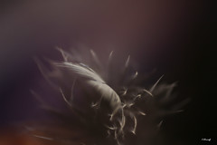précieuse-1-5 (FLOCVROFF) Tags: plume feather feder chivaroff 50mm canon automne septembre