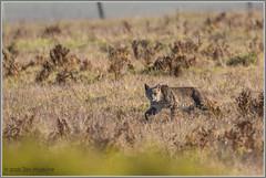 MY Bobcat 8609 (maguire33@verizon.net) Tags: pointreyesnationalseashore bobcat wildlife inverness california unitedstates us