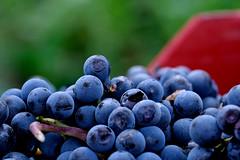 la raccolta (♥iana♥) Tags: vino uva grape vendemmia autunno autumn fall rosso red vite vigna grapevine montemarano avellino campania italia