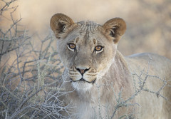 Lioness_7822 (Peter Warne-Epping Forest) Tags: pantherusleo lion pride peterwarne kgalagadi np bigcat africa southafrica carnivore predator