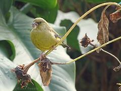 The first.... (♥ Annieta ) Tags: annieta oktober 2018 sony nederland netherlands garden jardin tuin vogel bird oiseau groenling groenvink allrightsreserved usingthispicturewithoutpermissionisillegal hx350 birdwatcher