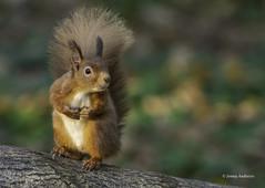 Red Squirrel (jonny.andrews65) Tags: red squirrel nationaltrust mountstewart newtownards countydown northernireland nikon d7200 200500 vr