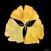 Golden leaves - Feuilles dorées