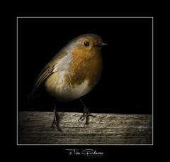 My little buddy Wobin. (timgoodacre) Tags: robin robinredbreast bird birds birdlife birdportrait wildbird songbird nature ngc nationalgeographic wildlife wild wildanimal outside outdoors wood perch perched