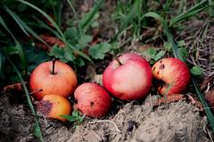 Fallen Fruit - Fallobst (macplatti) Tags: xt2 xf1655mmf28rlmwr apples fallobst autumn herbst nature red esrth erde krumen koblach vorarlberg austria aut soil agriculture fruits