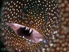 Gymnothorax eurostus (chaloklum) Tags: gymnothoraxeurostus abbottsmorayeel unterwasser underwater undersea uderwaterphotography uwmacro uwphoto unterwasserfotografie underwatermacro ess riff tauchen indonesien insel indonesia ocean olympus asia scuba scubadiving sulawesi diving dive fins korallen nauticam meer