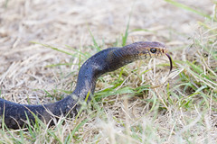 Eastern Brown Snake 5 (petefeats) Tags: australia birds brisbane easternbrownsnake jan nature oxleycommon pseudonajatextilis queensland reptiles snakes