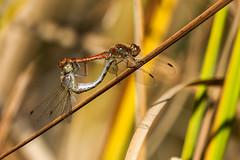 Libellenpaarung (gutlaunefotos ☮) Tags: blutroteheidelibelle libelle insekt libellenpaarung