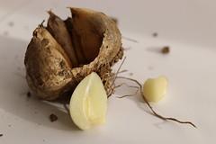 Garlic for medicinal use (AngharadW) Tags: remedy macro macromonday medicinaluse angharadw highkey dof mud clove garlic