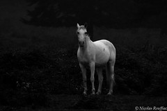 Ghost horse (Nicolas Rouffiac) Tags: cheval chevaux horse horses animal animals animaux white blanc dark sombre nb bw
