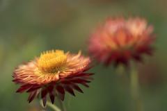 Deux immortelles *-*--+ (Titole) Tags: two everlastingflower flowers titole nicolefaton 15challengeswinner storybookwinner