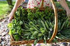 The kids are helping me harvest herbs before snow decides to fall (Elizabeth Sallee Bauer) Tags: basket chef cooking feshflavor flavor fresh freshpicked garden gardening green greenliving harvest harvesting herbs kitchen leaves mint outdoors outside parsely sage spice summer
