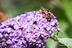Busy Bee (Fabke.be) Tags: nature natuur natural green fauna flore animals animal wildlife natuurpunt vlaanderen vlaams vlaamseardennen flower flowers bloemen dieren animaux flora inexplore explore bee bij yellow purple paars groen
