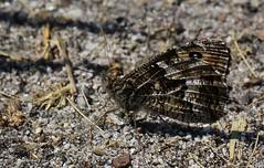 Grayling -Hipparchia semele -Coombe Heath NR -Dorset (3) (Ann Collier Wildlife & General Photographer) Tags: grayling hipparchiasemele coombeheathnr dorset naturereserves wildlife butterflies butterfliesmothsandcaterpillars dorsetwildlife naturalhistory macro