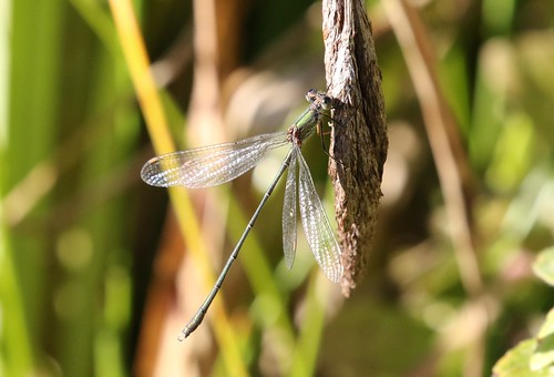 Willow Emerald Damselfly ~ Chalcolestes viridis ~ Baconsthorpe Castle (1)