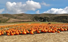 Half Moon Bay Pumpkin Patch (janetfo747 ~ Dreaming of Africa) Tags: pumpkin patch orange funny kids halloween scary fun pickone jackolantern half moon bay