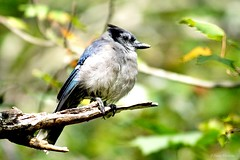Blue Jay Resting on a Broken Branch (Anne Ahearne) Tags: wild bird animal nature wildlife blue jay tree bokeh autumn bluejay branch