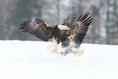 Le combat (jlf_photo) Tags: bald eagle pygargue combat neige hiver snow winter