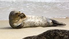 18A_1277-Edit (Mark Ritter) Tags: seal seals macro lajolla california