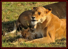 FEMALE LIONESS (Panthera leo) WITH CUB......MASAI MARA......SEPT 2017. (M Z Malik) Tags: nikon d3x 200400mm14afs kenya africa safari wildlife masaimara keekoroklodge exoticafricanwildlife exoticafricancats flickrbigcats lioness lioncubs leo bigcats